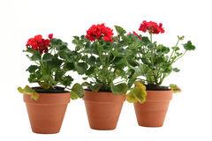 geraniums-4958541